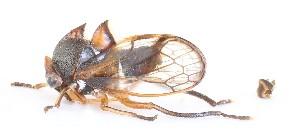 (Aetalionidae - JLPZ0095)  @11 [ ] CreativeCommons – Attribution Non-Commercial Share-Alike (2019) Jeremie Lapeze Institut National de la Recherche Agronomique, Zoologie Forestiere