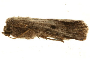 (Spodoptera triturata - TDGAB-1333)  @13 [ ] CreativeCommons - Attribution Non-Commercial Share-Alike (2010) CBG Photography Group Centre for Biodiversity Genomics