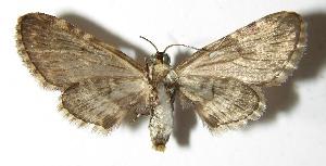 (Eupithecia Janzen18 - 03-SRNP-3189)  @14 [ ] CreativeCommons - Attribution Non-Commercial Share-Alike (2013) Daniel H. Janzen Guanacaste Dry Forest Conservation Fund