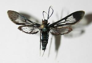 (Trichaea pilicornisDHJ02 - 05-SRNP-31084)  @15 [ ] CreativeCommons - Attribution Non-Commercial Share-Alike (2013) Daniel H. Janzen Guanacaste Dry Forest Conservation Fund