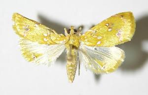 (Symphysa lepidaria - 92-SRNP-1072.1)  @14 [ ] CreativeCommons - Attribution Non-Commercial Share-Alike (2013) Daniel H. Janzen Guanacaste Dry Forest Conservation Fund