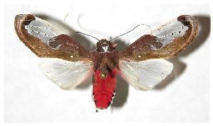 (Bertholdia albipuncta - 03-SRNP-38167)  @15 [ ] CreativeCommons - Attribution Non-Commercial Share-Alike (2005) Daniel H. Janzen Guanacaste Dry Forest Conservation Fund