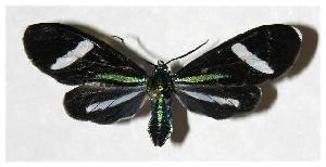 (Mydromera notochloris - 05-SRNP-30748)  @14 [ ] CreativeCommons - Attribution Non-Commercial Share-Alike (2005) Daniel H. Janzen Guanacaste Dry Forest Conservation Fund