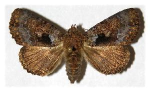 (Cropia plumbicincta - 91-SRNP-840)  @15 [ ] CreativeCommons - Attribution Non-Commercial Share-Alike (2005) Daniel H. Janzen Guanacaste Dry Forest Conservation Fund