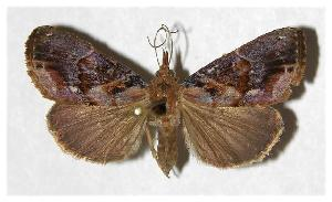 (Hypena glumalis - 81-SRNP-796)  @14 [ ] CreativeCommons - Attribution Non-Commercial Share-Alike (2006) Daniel H. Janzen Guanacaste Dry Forest Conservation Fund