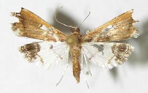 (Neoleucinodes alegralis - 02-SRNP-751)  @14 [ ] CreativeCommons - Attribution Non-Commercial Share-Alike (2009) Daniel H. Janzen Guanacaste Dry Forest Conservation Fund