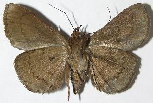 (Dyomyx sp. voucher - 08-SRNP-31364)  @11 [ ] CreativeCommons - Attribution Non-Commercial Share-Alike (2009) Daniel H. Janzen Guanacaste Dry Forest Conservation Fund