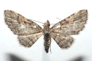 (Eupithecia BioLep381 - 16-SRNP-101232)  @14 [ ] CreativeCommons – Attribution Non-Commercial Share-Alike (2017) Daniel H. Janzen Guanacaste Dry Forest Conservation Fund