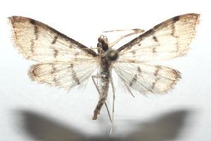 (Blepharomastix BioLep275 - 16-SRNP-101380)  @14 [ ] CreativeCommons – Attribution Non-Commercial Share-Alike (2017) Daniel H. Janzen Guanacaste Dry Forest Conservation Fund