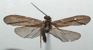 (Trichoptera_incertae_sedis - 16-SRNP-103415)  @11 [ ] CreativeCommons - Attribution Non-Commercial Share-Alike (2018) Daniel H. Janzen Guanacaste Dry Forest Conservation Fund