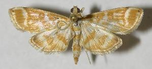 (Leucochromodes melusinalisDHJ01 - 12-SRNP-76184)  @15 [ ] CreativeCommons - Attribution Non-Commercial Share-Alike (2013) Daniel H. Janzen Guanacaste Dry Forest Conservation Fund