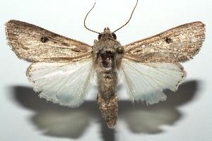 (Spodoptera albula - 13-SRNP-101311)  @14 [ ] CreativeCommons - Attribution Non-Commercial Share-Alike (2014) Daniel H. Janzen Guanacaste Dry Forest Conservation Fund