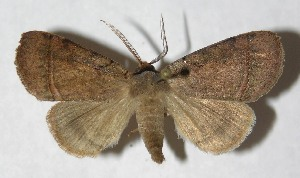 (Paraceliptera - 13-SRNP-18557)  @15 [ ] CreativeCommons - Attribution Non-Commercial Share-Alike (2014) Daniel H. Janzen Guanacaste Dry Forest Conservation Fund