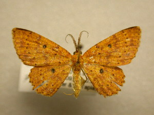 (Cyclophora ferruginata - 11-MISC-277)  @13 [ ] No Rights Reserved (2010) James Sullivan Research Collection of J. B. Sullivan