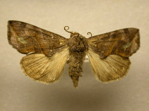 (Oraesia striolata - 11-MISC-330)  @15 [ ] No Rights Reserved (2010) James Sullivan Research Collection of J. B. Sullivan