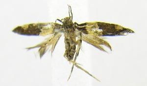 (Macrobathra metacypha - USNM ENT 00701412)  @12 [ ] Unspecified (default): All Rights Reserved  Unspecified Unspecified