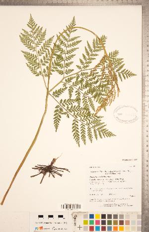 (Psilotopsida - CCDB-18287-H03)  @11 [ ] Copyright (2015) Deb Metsger Royal Ontario Museum