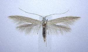(Coleophora JFL010 - jflandry0946.1)  @14 [ ] Copyright (2007) Jean-Francois Landry Canadian National Collection