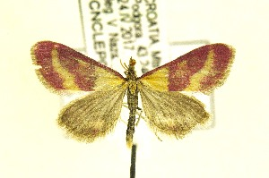 (Pyrausta virginalis - CNCLEP00171992)  @14 [ ] CreativeCommons Attribution NonCommercial ShareAlike (2017) Canadian National Collection Canadian National Collection