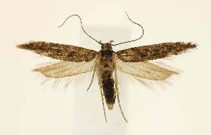 (Gnorimoschema navajorum - JD1024)  @14 [ ] Copyright (2007) Jean-Francois Landry Canadian National Collection
