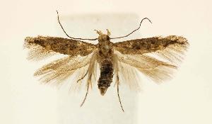 (Gnorimoschema VNG056 - JD1259)  @14 [ ] Copyright (2007) Jean-Francois Landry Canadian National Collection