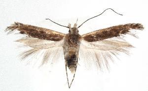 (Gnorimoschema clavatum - JD1760)  @13 [ ] Copyright (2007) Jean-Francois Landry Canadian National Collection