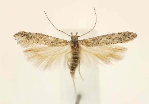 (Gnorimoschema VNG030 - JD1895)  @15 [ ] Copyright (2007) Jean-Francois Landry Canadian National Collection