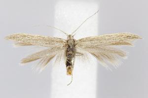(Coleophora JFL069 - BIRD18965)  @14 [ ] Copyright (2007) Jean-Francois Landry Canadian National Collection
