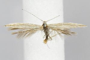 (Coleophora mcdunnoughiella - BIRD21551)  @15 [ ] Copyright (2007) Jean-Francois Landry Canadian National Collection
