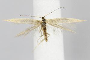 (Coleophora JFL092 - BIRD21561)  @15 [ ] Copyright (2007) Jean-Francois Landry Canadian National Collection