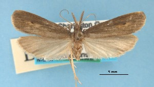 (Donacaula nr. nitidellus - MEM36641)  @14 [ ] Copyright (2007) Jean-Francois Landry Canadian National Collection