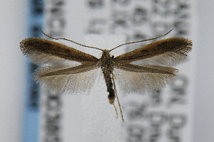 (Caloptilia hypericella - CNCLEP00038506)  @14 [ ] CreativeCommons - Attribution Non-Commercial Share-Alike (2007) Jean-Francois Landry Canadian National Collection