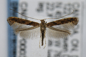 (Caloptilia aceriella - CNCLEP00038529)  @13 [ ] CreativeCommons - Attribution Non-Commercial Share-Alike (2007) Jean-Francois Landry Canadian National Collection