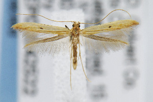 (Caloptilia violacella - CNCLEP00042522)  @14 [ ] CreativeCommons - Attribution Non-Commercial Share-Alike (2007) Jean-Francois Landry Canadian National Collection