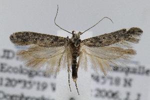 (Gnorimoschema lateritium - JD1869)  @14 [ ] Copyright (2007) Jean-Francois Landry Canadian National Collection