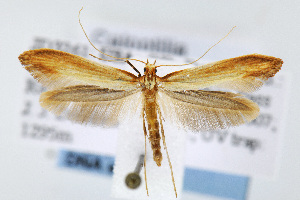 (Caloptilia murtfeldtella - JD3261)  @15 [ ] Copyright (2007) Jean-Francois Landry Canadian National Collection