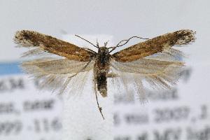 (Gnorimoschema VNG014 - JD3634)  @15 [ ] Copyright (2007) Jean-Francois Landry Canadian National Collection