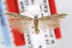 (Gnorimoschema segregatum - MZH-LEP00000015)  @14 [ ] Copyright (2007) Jean-Francois Landry Canadian National Collection