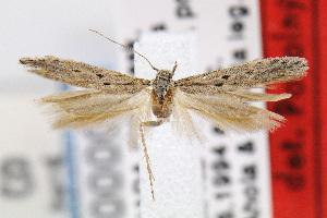(Gnorimoschema spinosum - MZH-LEP00000016)  @13 [ ] Copyright (2007) Jean-Francois Landry Canadian National Collection
