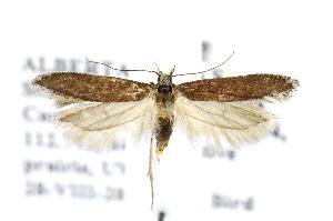 (Gnorimoschema subterranea - BIRD19153)  @15 [ ] Copyright (2007) Jean-Francois Landry Canadian National Collection