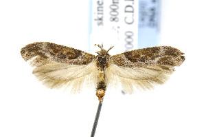 (Gnorimoschema gallaeasterella - BIRD24832)  @14 [ ] Copyright (2007) Jean-Francois Landry Canadian National Collection