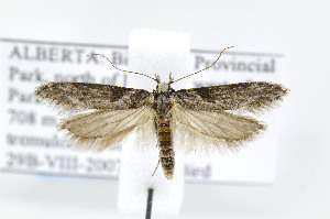(Gnorimoschema gibsoniella - BIRD24840)  @15 [ ] Copyright (2007) Jean-Francois Landry Canadian National Collection