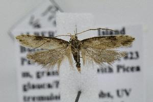 (Prolita variabilis - BIRD24859)  @14 [ ] Copyright (2007) Jean-Francois Landry Canadian National Collection
