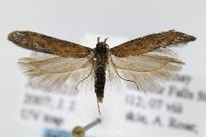 (Gnorimoschema VNG007 - JD4164)  @13 [ ] Copyright (2007) Jean-Francois Landry Canadian National Collection