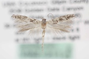 (Gnorimoschema VNG048 - DMNS ZE.49358)  @14 [ ] Copyright (2014) Jean-Francois Landry Canadian National Collection
