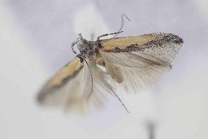(Gnorimoschema serratipalpella - DMNS ZE.49487)  @13 [ ] Copyright (2014) Jean-Francois Landry Canadian National Collection