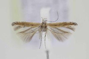 (Gnorimoschema VNG028 - DMNS ZE.49506)  @13 [ ] Copyright (2014) Jean-Francois Landry Canadian National Collection