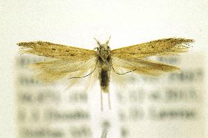 (Gnorimoschema VNG054 - JD10996)  @13 [ ] Copyright (2013) Jean-Francois Landry Canadian National Collection