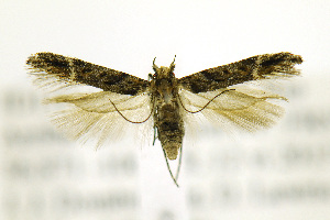 (Gnorimoschema VNG058 - JD11011)  @13 [ ] Copyright (2013) Jean-Francois Landry Canadian National Collection
