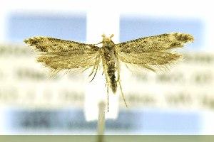 (Gnorimoschema VNG038 - JD9500)  @13 [ ] Copyright (2014) Jean-Francois Landry Canadian National Collection